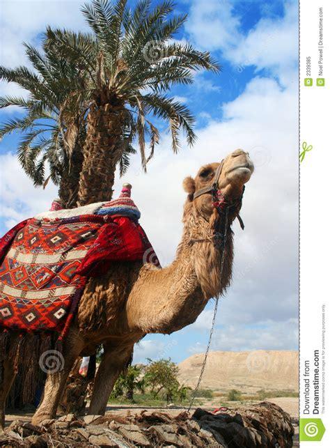camel  palm tree royalty  stock photo image