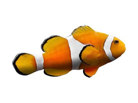 saltwater tropical fish chat  famous clownfish