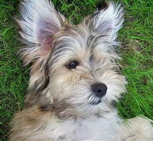 Havanese Terrier Mix Puppies - Goldenacresdogs.com