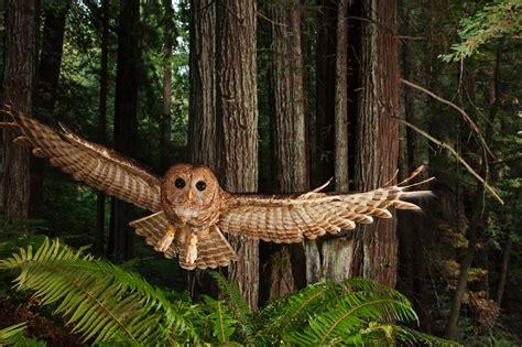 redwoods  super trees national geographic magazine