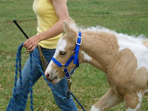 horse training imprint foal newborn precocial equisearch species care riding expert horses advice