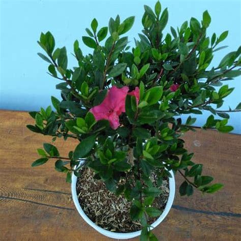 beli disini azalea bunga ungu harga termurah ibad garden
