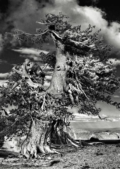 lone gnarled  bristlecone pines  crater lake oregon