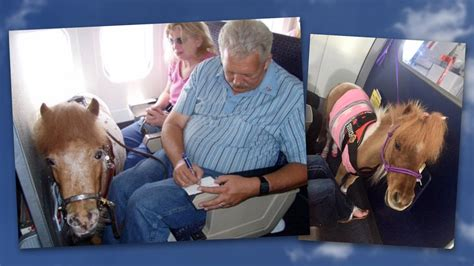 horses horse plane miniature service animals airlines rules transportation planes flight american fly dept allow must flights sitting happy guidelines