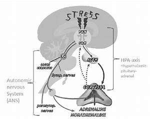 Physiology Of The Stress Response  3    Copyright Obtained   Pvn