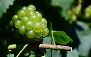 The Next Amazing Health Food  The Seeds Of Wine Grapes