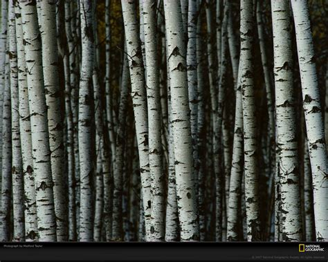 White Birch Tree Wallpaper Wallpapersafari
