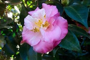 Camellia Japonica Winterhart : camellias the aristocrat of bellingrath gardens bellingrath gardens home ~ Eleganceandgraceweddings.com Haus und Dekorationen