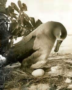 Midway Island Albatross
