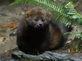 fisher cats fisher cat attacks sound search results dunia photo