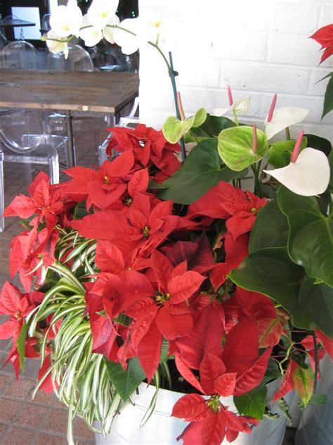 poinsetta care poinsettia care through winter and beyond hgtv