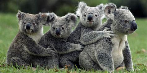 koala marsupial water animals dinoanimals
