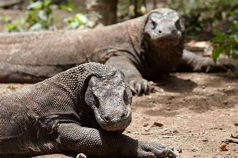 komodo island holiday   komodo dragons travelnext