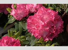 National Flower Of Nepal Rhododendron 123Countriescom