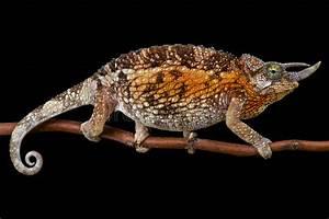 Jacksonu002639s Chameleon Trioceros Jacksonii Jacksonii Female