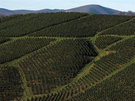 christmas tree farms in nc great harvest for nc christmas tree farmers wunc 5892