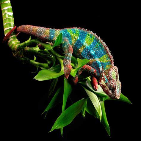 chameleon change color scientists just found out how chameleons change color