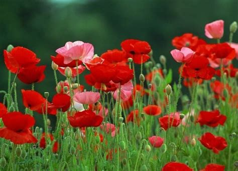growing poppies how to grow poppies from seed