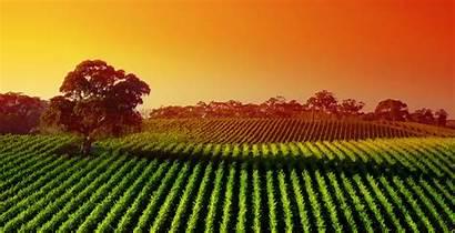 Agriculture 4k Digital Wallpapers Sunset Vineyard Landscape