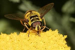 Fliegen In Der Erde : aus dem leben unserer schwebfliegen nabu ~ Lizthompson.info Haus und Dekorationen