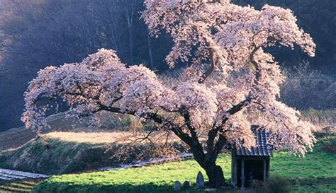 50 Lovely Cherry Blossom Wallpapers To Brighten Your