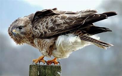 Hawk Animal Prey Birds Wallpapers Background Desktop