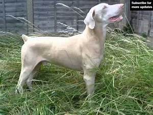 White Doberman | Set Of Dogs & Dog Breed Picture Ideas ...