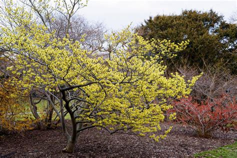 hamamelis virginiana plant witch hazel growing profile