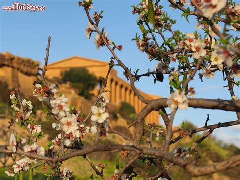 foto mandorlo in fiore la sagra mandorlo in fiore ad agrigento valle dei
