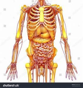 Human Body Anatomy Brain Lungs Heart Stock Illustration