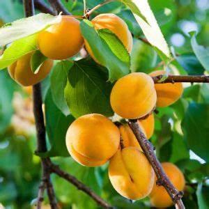 Taille De L Abricotier : eclaircir les fruits de l 39 abricotier le magazine gamm vert ~ Dode.kayakingforconservation.com Idées de Décoration