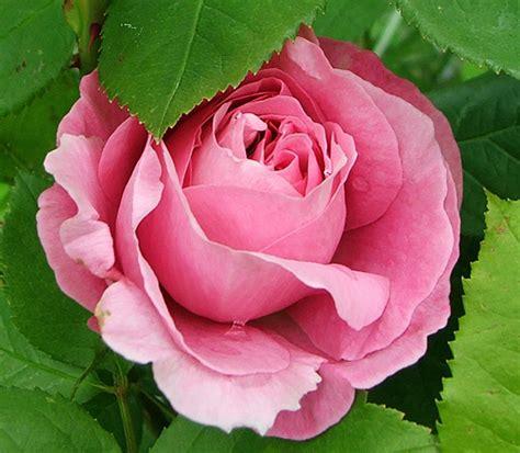 buying david roses