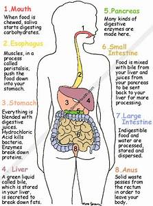Draw The Flow Chart Of Digestive System And Explain The Process