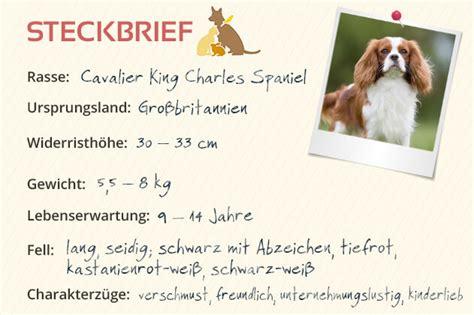 cavalier king charles spaniel steckbrief charakter