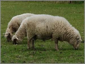 Le Mouton A 5 Pattes : trouver des moutons cinq pattes paperblog ~ Louise-bijoux.com Idées de Décoration