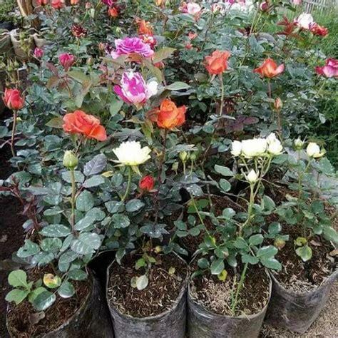 keren  bunga mawar aneka warna galeri bunga hd