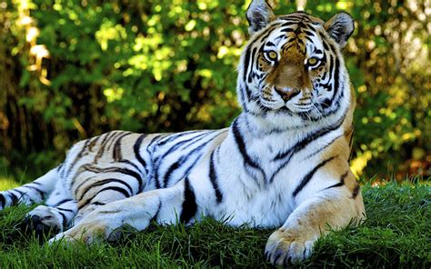 animated nature wallpapers  desktop tiger desktop