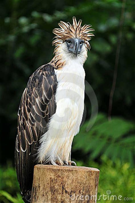 philippine eagle stock photo image