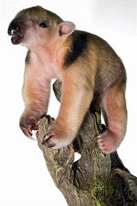 baby tamandua hitches a ride at staten island zoo zooborns