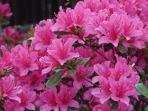 Azaleas Flowers That Look Like