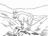 Mountain Goat Coloring Pages Outline Animal Amazing Template Colorluna sketch template