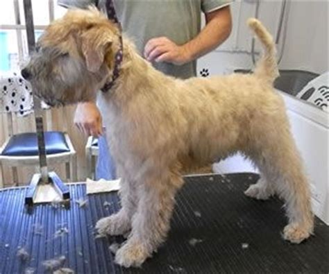 Why Is My Wheaten Terrier Shedding by 17 Best Ideas About Wheaten Terrier On Golden