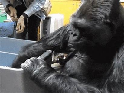 Gorilla Gentle Clever Cats Gifs Cuddle Names