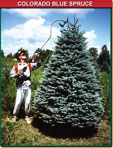colorado blue spruce wisconsin tree guy