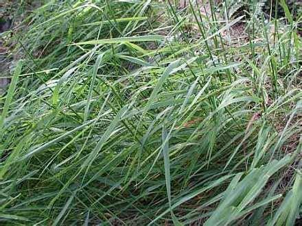 elymus glaucus colorado native herbs plants