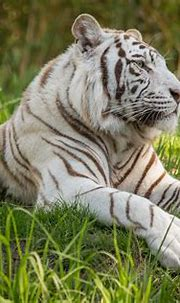White Tiger 5k, HD Animals, 4k Wallpapers, Images ...