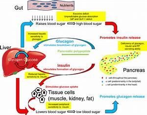 Pathophysiology Of Pancreatogenic Diabetes  Insulin  Which