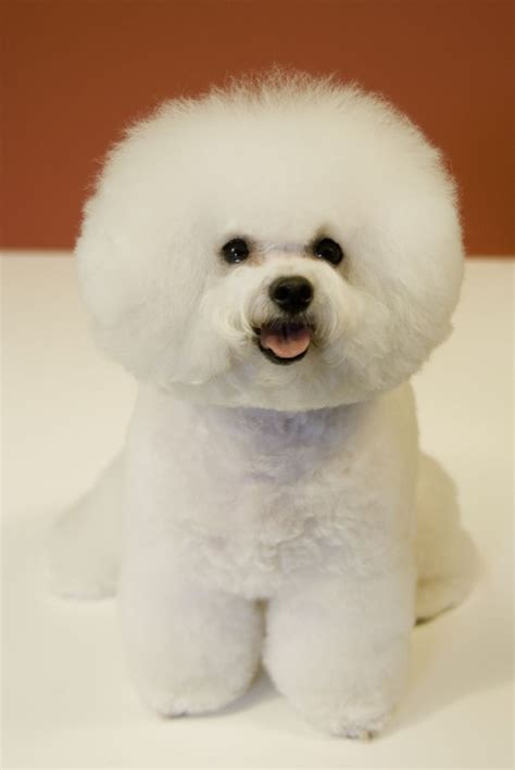 Do Bichon Maltese Shed file bichon frise red background jpg wikimedia commons