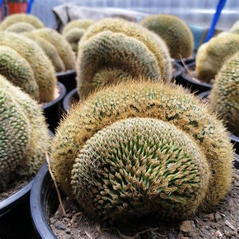 [ถูกสุด] Cactus กระบองทอง คริสตาต้า กระบองเพชร แคคตัส ...