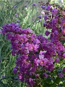 Taille Du Lilas Des Indes : lilas des indes violet d ete 39 indyvio 39 lagerstroemia ~ Nature-et-papiers.com Idées de Décoration